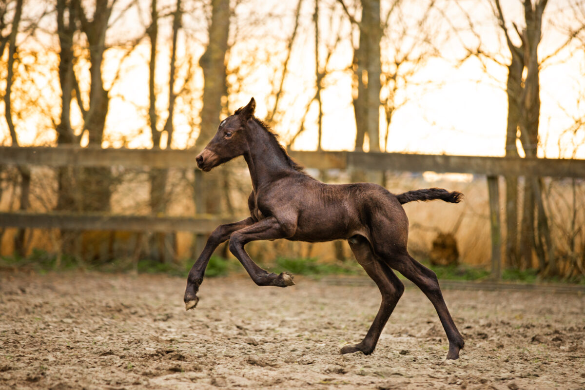 Veulen paardenfotograaf